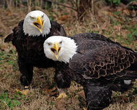 Pair of American Eagle. Pair of angry American Bald Eagle Royalty Free Stock Photo