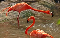 Flamingos splashing and bathing in summer Stock Images