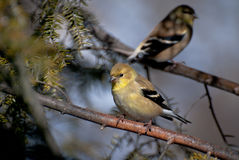 Pair of American Goldfinch Perched in a Tree Royalty Free Stock Photography