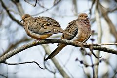 Pair of American mourning doves zenaida macroura or rain dove. Romantic pair of American mourning doves zenaida macroura or rain dove perched on oak branch with Stock Image