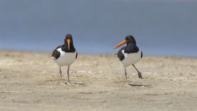 Pair of American Oystercatchers on a Beach Royalty Free Stock Photo