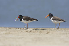 Pair of American Oystercatchers on a Beach Royalty Free Stock Photography