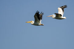 Pair of American White Pelicans Flying in a Blue Sky Stock Photos