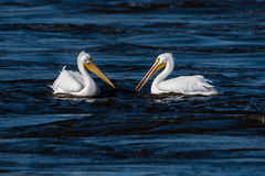 Pair of American White Pelicans Royalty Free Stock Photos