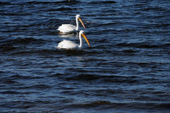 Pair of American White Pelicans Stock Photos