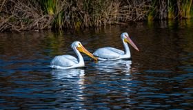 Paired American White Pelicans swimming stock photos
