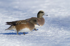 American Wigeon pair in winter Royalty Free Stock Photography
