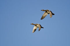 Pair of American Wigeons Flying in a Blue Sky Royalty Free Stock Images