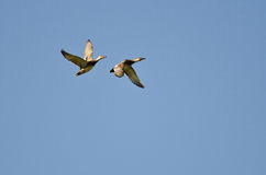 Pair of American Wigeons Flying in a Blue Sky Royalty Free Stock Photos