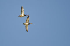 Pair of American Wigeons Flying in a Blue Sky Stock Image