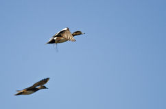 Pair of American Wigeons Flying in a Blue Sky Stock Images