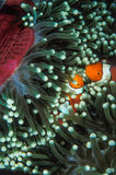 A pair of anemone fish nestled into an anemone in the Solomon Islands Royalty Free Stock Photos