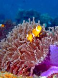 A pair of Anemonefish. Anemonefish & its home in a coral reef stock photography
