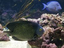 A Pair Of Angelfish L'Aquarium de Paris Cinéaqua royalty free stock photo