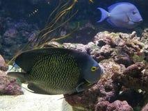A Pair Of Angelfish L'Aquarium de Paris Cinéaqua royalty free stock photo