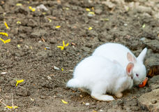 Pair Of Angora Rabbit. Pair Of White Angora Rabbit On The Ground stock photos