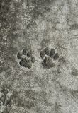 Pair of animal prints cat trail froze on a concrete path in th. A pair of animal prints cat trail froze on a concrete path in the garden royalty free stock image
