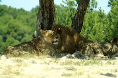 The lion and lioness rest in the shade of a tree. A pair of animals. Male and female. Two predators. Muzzle of a lioness Stock Photos