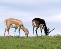 Pair of Antelopes. Grazing on a sunny day Royalty Free Stock Photo