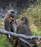 Pair of Apes have aggressive Playful encounter stock images