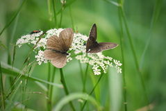 Pair of aphantopus hyperanthus butterflies. Wildlife of middle Europe meadows, lakes and forests Stock Images