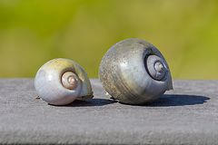 Pair Of Apple Snail Shells. A pair of sunlit empty Apple Snail shells on a wooden plank stock photography