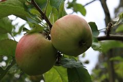 A pair of apples on a branch. Nearly ready to be picked, agriculture, branches, closeup, food, fresh, fruit, garden, green, healthy, juicy, leaves, natural stock photography