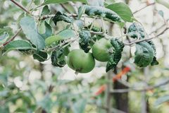 Apples Growing on Tree Branch stock photo