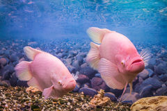 Pair of aquarium fish gourami. Beautiful aquarium fish gourami on a background of blue water in the aquarium Royalty Free Stock Photography