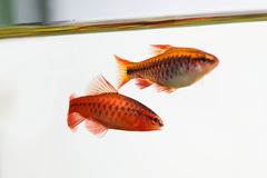 Pair aquarium fishes swimming water surface. Red color Puntius titteya cherry barb belonging to the family Cyprinidae Stock Image