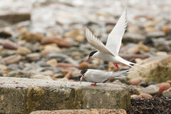 A pair of Arctic Tern Sterna paradisaea one in flight and the other perched on a rock eating a fish. A pair of Arctic Tern Sterna paradisaea, one in flight and Stock Image
