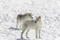 Pair of Arctic Wolves Stock Photography