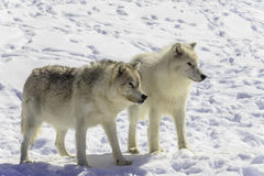 Pair of Arctic Wolves Stock Photos