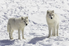 Pair of Arctic Wolves Royalty Free Stock Photography