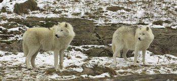 Pair of Arctic Wolves Stock Images