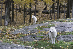 Pair of Arctic Wolves in a fall, forest environment Royalty Free Stock Image