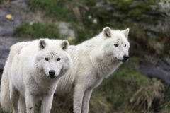Pair of Arctic Wolves in a fall, forest environment Royalty Free Stock Images