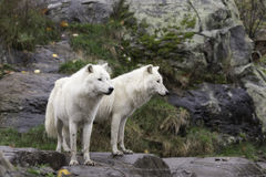 Pair of Arctic Wolves in a fall, forest environment Stock Images