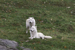 A pair of Arctic Wolves Stock Images