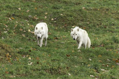 A pair of Arctic Wolves Royalty Free Stock Images