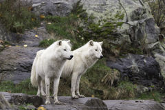 A pair of Arctic Wolves Stock Photography