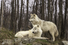 Pair of Arctic Wolves in a forest environment Stock Image