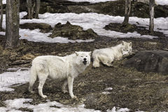 A pair of Arctic Wolves Stock Photo