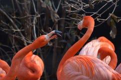 Pair of Arguing Flamingos Royalty Free Stock Photo