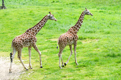 Pair of articulated giraffes. A pair of articulated giraffes stroll over a lush green pasture at a zoo where they roam dozens of acres Stock Images