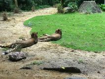 Pair of asian cheetah lying on the ground. Between sand and grass Royalty Free Stock Images