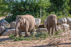 Pair of Asian Elephants Stock Photo