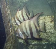 Pair of Atlantic Spadefish Royalty Free Stock Images
