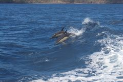 Atlantic white-sided dolphins at play, Azores. Pair of Atlantic White-Sided Dolphins at play in the wake of a boat, Azores Royalty Free Stock Photos
