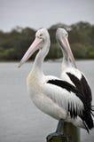 Pair of Australian Pelicans. A pair of Australian Pelicans (Pelecanus conspicillatus) at the Noosa River, Sunshine Coast, Queenland. With a wing span of more Stock Image